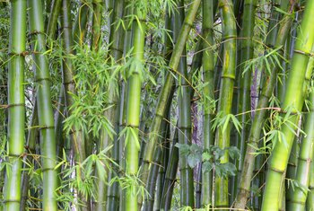 Can You Cut Lucky Bamboo Stalks Down to Size?