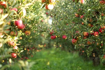 When Do You Spray Fruit Trees for Insects?