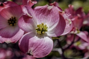 How to Plant & Care for a Pink Dogwood Tree