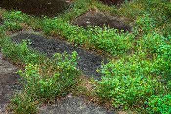 When to Put Crabgrass Preventer Down?