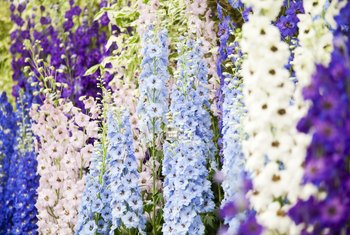 How to Start Delphinium From Seed