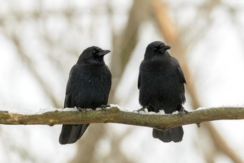 Why Are There a Lot of Crows in My Back Yard?
