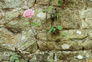 Rose vines are known for being thorny.