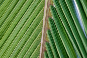 Green palm fronds are more pliable than dried varieties.
