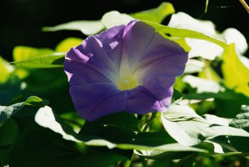 The morning glory is a vine that grows up the side of a trellis, showing off its purple flowers.