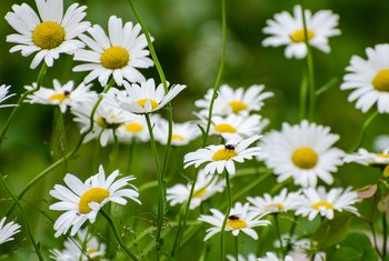 When to Prune Shasta Daisy?