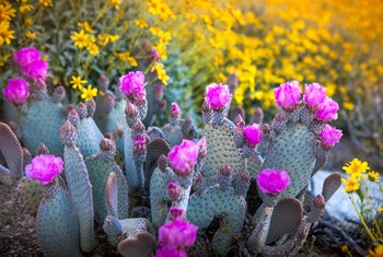 How to Grow a Cutting From Prickly Pear Cactus