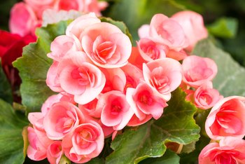 How to Rescue a Wilted Begonia