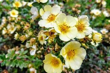 How to Prune Potentilla Shrubs