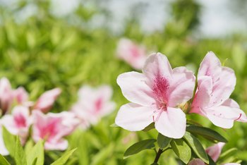 Azalea Plants Bloom During What Period?