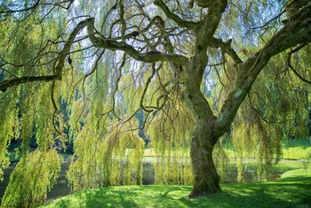 Miniature Willow Tree Information