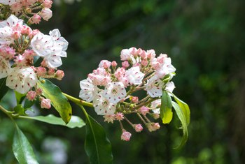How to Grow Mountain Laurels From Seed