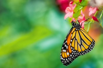How to Cut Back Butterfly Milkweed