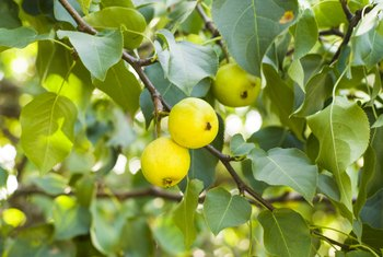 Dish Soap Around Fruit Trees to Prevent Bugs