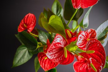 How to Get an Anthurium to Bloom