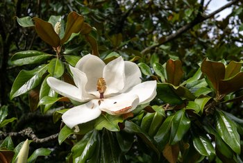 Magnolia trees are recognizable by their large white flowers.