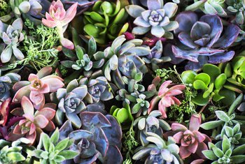 How to Fertilize Succulents