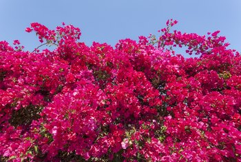 Bougainvillea and Loss of Leaves Even in Summer