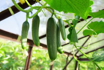 What Not to Plant Near Cucumbers