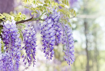 How to Germinate Dried Wisteria Seeds