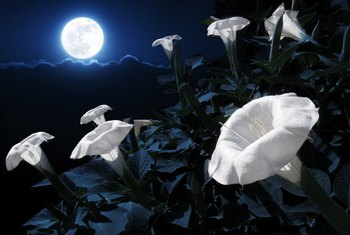 The Best Ways to Germinate White Moonflower Seeds