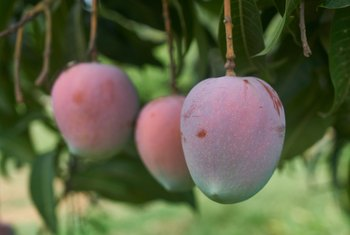 What Kind of Organic Fertilizer Can I Use on Mango Trees?