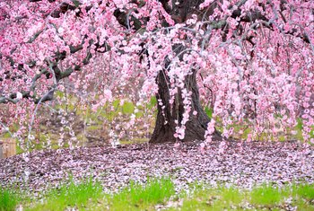 Cherry Trees & Insects That Cause Leaf Damage