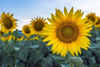 How Much Sun & Water for Sunflowers?