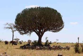How to Care for an African Milk Tree