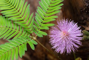 Care of the Sensitive Plant Mimosa Pudica