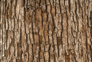 Why Does a Tree Lose Its Bark?