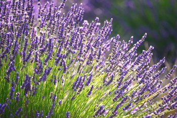The Difference Between Lavender & Culinary Lavender