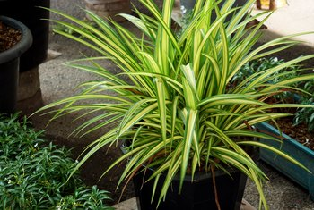Is Variegated Dracaena Toxic to Cats?
