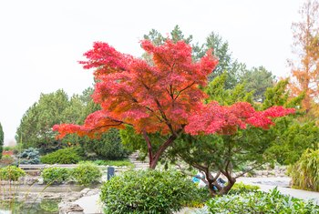The Best Fertilizer for Japanese Red Maples
