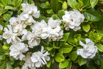 How to Raise Gardenias in Pots