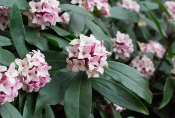 How to Grow Daphne From Cuttings