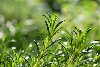 Tips on Rosemary Leaves Dying and Turning Brown