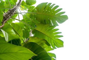 How to Grow a Philodendron in Water