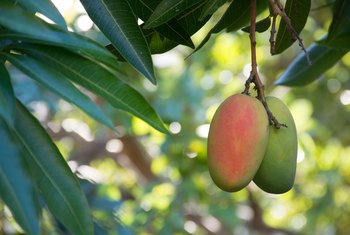 What Fertilizer to Use When Mangoes Are Flowering?
