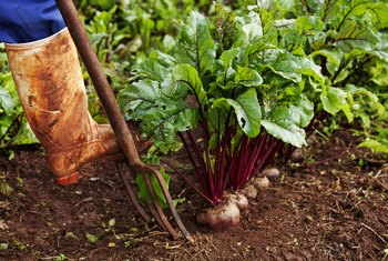 How to Grow a Beet in Water Without Seeds