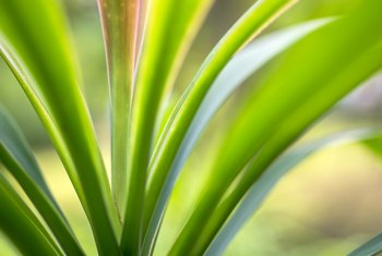 How to Remove the Brown Leaves on a Dracaena Fragrans Corn Plant