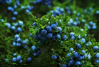 How to Propagate Cuttings of Juniper