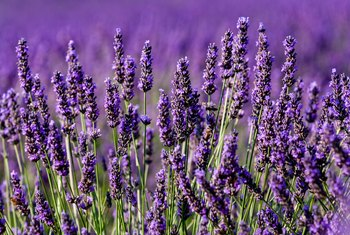 How to Revive a Lavender Plant