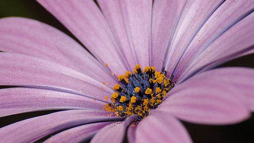 <p>African daisies sport large, colorful petals.</p>