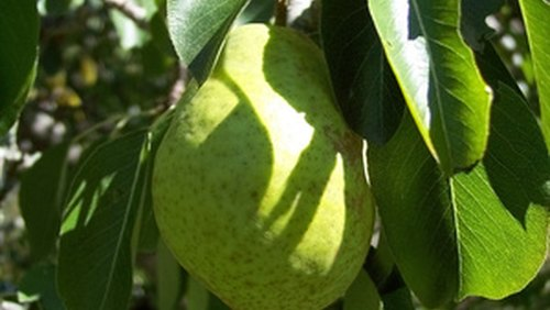 <p>A pear tree grows slowly but thrives over time with full sun and good soil.</p>