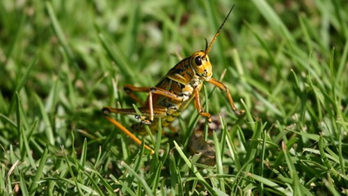 <p>Crickets have wings but rarely fly, preferring to crawl or jump. </p>