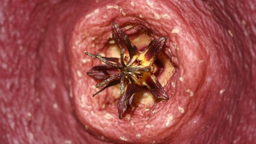 <p>Starfish flowers look and smell like rotting flesh.</p>