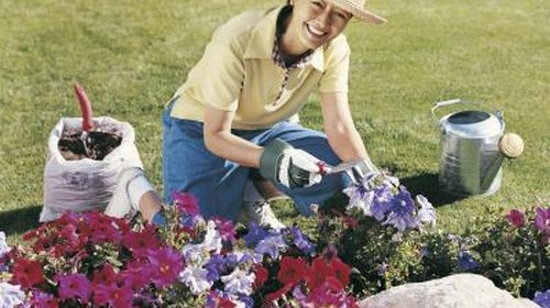 <p>Annual flowers, such as petunias, make excellent ground covers in the rose bed.</p>