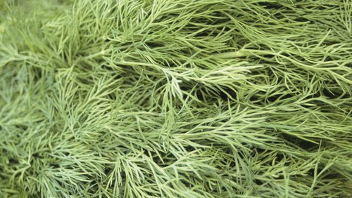 <p>Dill hosts butterfly larvae.</p>