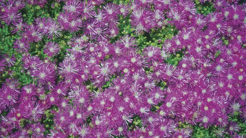 <p>Ice plant foliage is covered with clear, glistening flakes.</p>